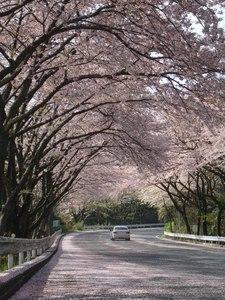 ターンパイク「桜のトンネル」写真.JPG