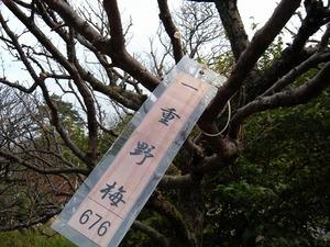 熱海梅園(11月29日)一重野梅676.jpg